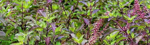 Increibles propiedades de la «tulsi», planta sagrada de la India