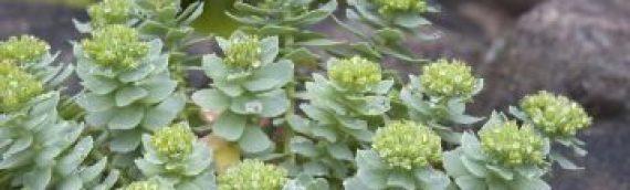 Beneficios de rhodiola rosea