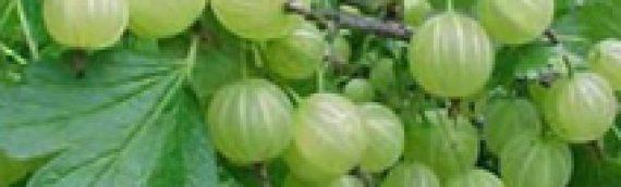 El Amla, una planta prodigiosa para la salud