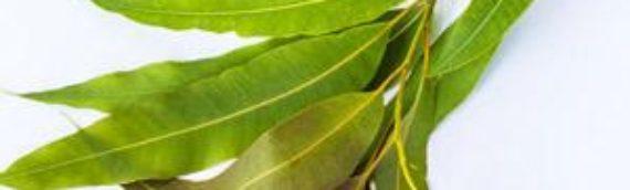 Beneficios y usos del eucalipto