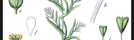 BOLSA DE PASTOR (Capsella Bursa-Pastoris)