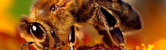 El veneno de la abeja destruye el virus de inmunodeficiencia humana (VIH / SIDA)