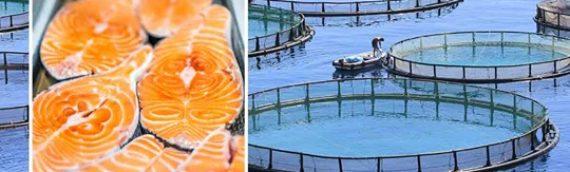 Por qué el salmón de piscifactoría es «comida chatarra» tóxica
